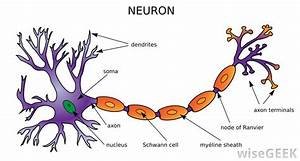 What Is An Interneuron   With Pictures