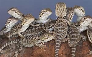 The Bearded Dragon | Snake Catcher - Gold Coast & Brisbane