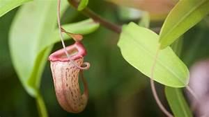 Venusfliegenfalle Pflege Haltung : was fressen fleischfressende pflanzen fleischfressende pflanzen haltung grundlagen zu pflege ~ Watch28wear.com Haus und Dekorationen