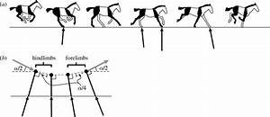 A  A Sketch Of The Key Points Of The Equine Transverse Gallop  The