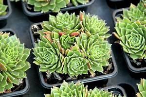 Plante Succulente Espèces Représentatives : joubarbe sempervivum planter et entretenir ooreka ~ Nature-et-papiers.com Idées de Décoration