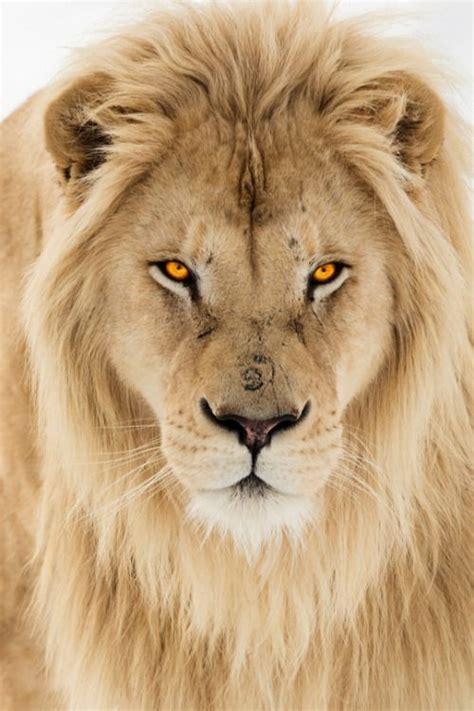 Best Majestic Lions Images Pinterest Wild
