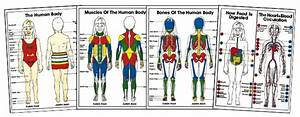 Kids Anatomy Posters  U0026 Coloring Sheets