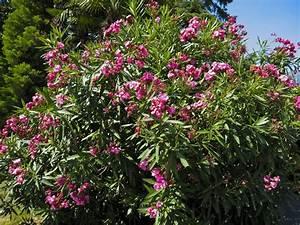 Rejuvenation Pruning Of Oleander Bushes