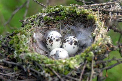 Photo Gallery of Wild Bird Nests and Eggs