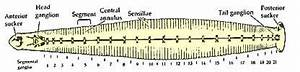 3) Chain of ganblia