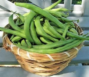 Beans  Plant Care And Collection Of Varieties