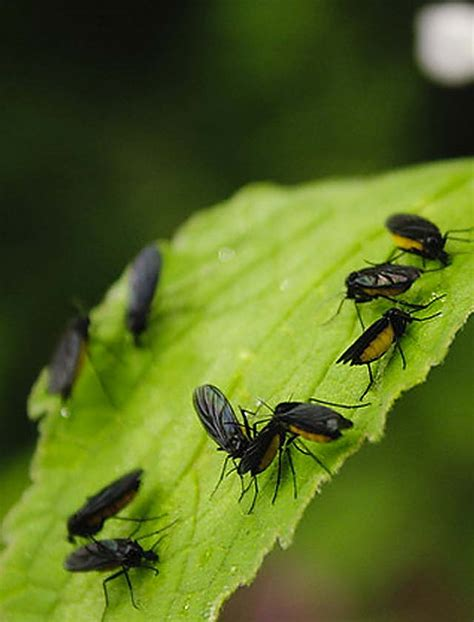 gnats in plants fungus gnats in house plants pose no serious threat ozarks living