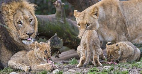 changement si鑒e social découvrez le système social des lions uniques félins à s organiser en groupe daily