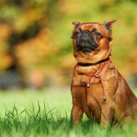 Brussels Griffon Breed Information And Facts