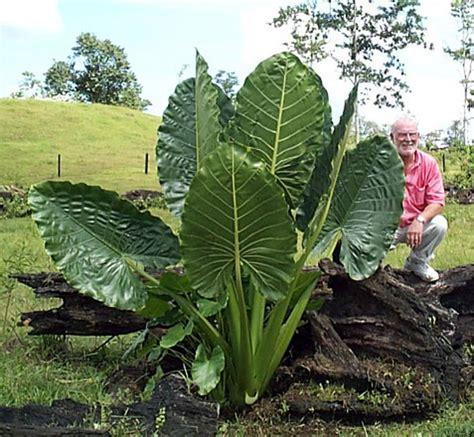 how to plant a elephant ear bulb i just have the bulb which has started to grow and i am excited to see how it will look my