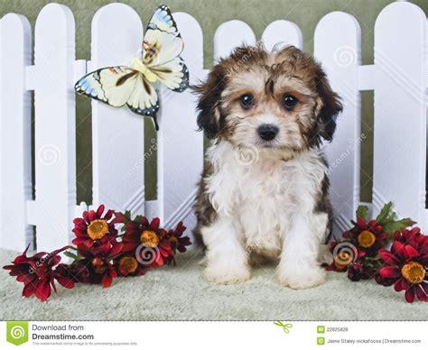 super cute cavachon puppy stock photo image