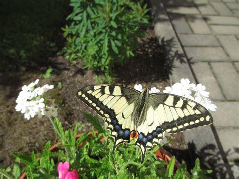 Tauriņu kārta (Lepidoptera) - SINTIJAS DABAS LAPA