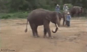 elephant skills kick  nice catch gallery ebaums