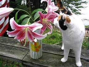 are lilies poisonous to cats the about easter toxicity poisonous plants for