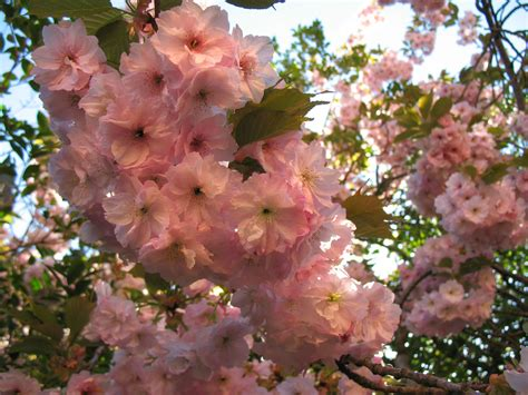 flowering japanese cherry japanese flowering cherry free stock photo public domain pictures