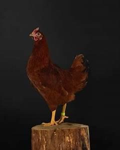 Poule Pondeuse Race : poule rousse la traditionnelle pondeuse de votre enfance ~ Dallasstarsshop.com Idées de Décoration