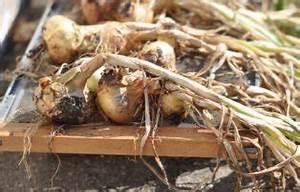 Zwiebeln Anbauen Anleitung : zucchinisorten berblick ber neue resistente und altbew hrte sorten plantura ~ Yasmunasinghe.com Haus und Dekorationen