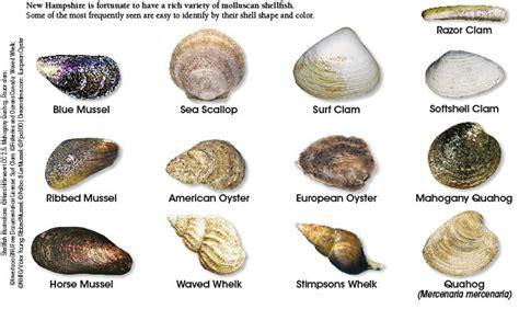 shellfish identification  hampshire saltwater fishing