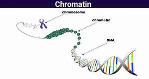 Chromatin-Structure Function & Analyzing chromatin ...