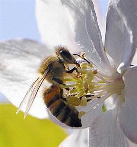 Wie Machen Bienen Honig : von der bl te bis zum honig glottertal badische zeitung ~ Whattoseeinmadrid.com Haus und Dekorationen