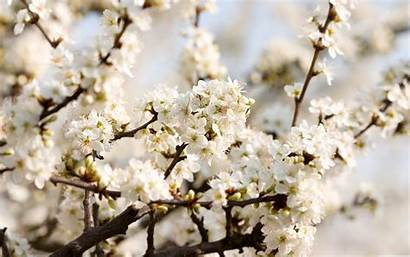 Cherry Blossoms Sour Macbook Pro Blossom Inch