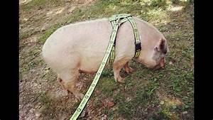 Mini Pig Harness  U0026 Leash Training  A Pig Pen Hill Guide