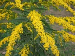 Giant Goldenrod Flowers