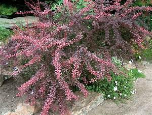 Mimosa Résistant Au Froid : arbuste resistant au froid capturnight ~ Melissatoandfro.com Idées de Décoration