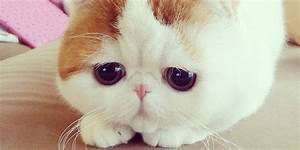 Pics For > Exotic Shorthair Snoopy Bath