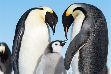 emperor penguin  hd wallpapers images backgrounds