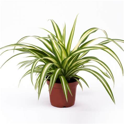 spider plant cm indoor plants  mgc
