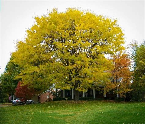 honey locust add a review cancel reply