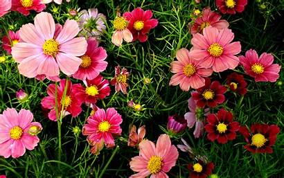 Flowers Pink Cosmos Wallpapers 1050 1680