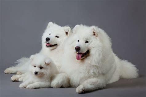 do samoyeds shed more than huskies siberian samoyed haute couture