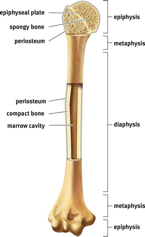 Long bones include the humerus this image represents the parts of a long bone. The Skeletal System - The Musculoskeletal System - MCAT Biology Review