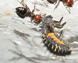 Ameisen Im Winter Finden : mit diesem trick finden ameisen ihren weg besser als jedes ~ Lizthompson.info Haus und Dekorationen