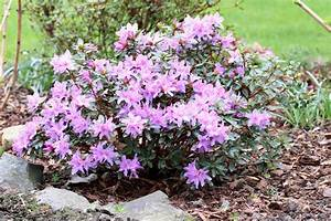 Kirschlorbeer Giftig Für Kinder : rhododendron ist die azalee giftig infos f r kinder und haustiere ~ Frokenaadalensverden.com Haus und Dekorationen