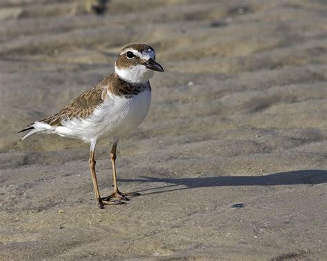 scott evers photography small shore birds