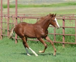 American Quarter Horse Colt