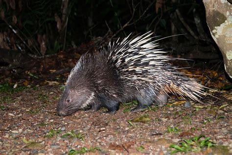 filehystrix brachyura malayan porcupine khao yai