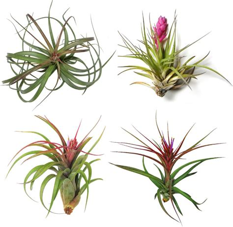 plants that grow in air 40 stunning photos featuring varieties and types of air plants