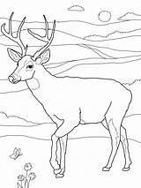 Deer Coloring Pages Printable Whitetail Adult Deers Tailed sketch template