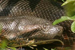 Giant anaconda photographed - boards.ie