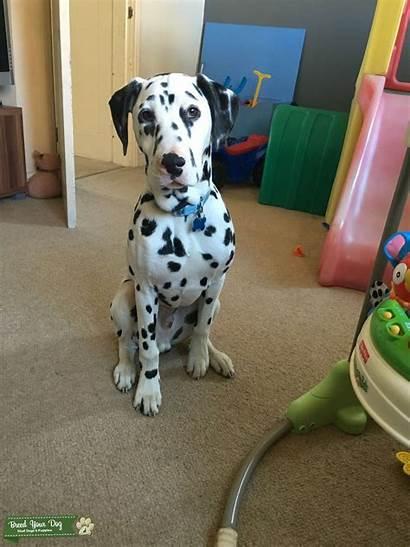 Dalmatian Male Stud Dog Breed Dogs Close