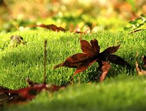 Gräser Winterhart Immergrün : die besten 25 sternmoos ideen auf pinterest bodendecker gr ser f r den garten und terrassenb ume ~ Frokenaadalensverden.com Haus und Dekorationen