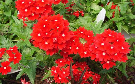 photos of perennial flowers red flowers wallpaper 1920x1200 51815