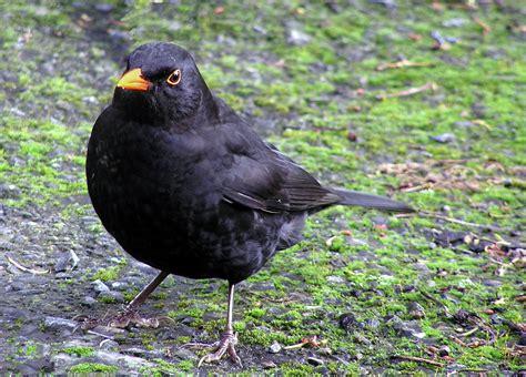 file male blackbird b jpg