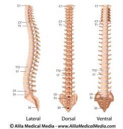 Spine Vertebrae Anatomy