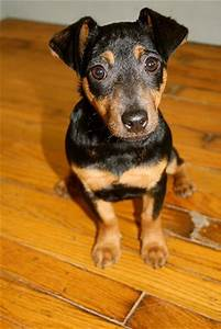 Best 25+ Black and tan terrier ideas on Pinterest ...
